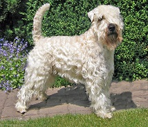 Wheaten Volunteer's Ivanhoe